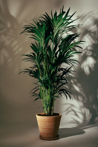 A mature Kentia Palm indoor plant, which would make the perfect edition to a home or work space.