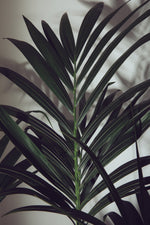 Load image into Gallery viewer, A branch of a mature Howea Forsteriana.