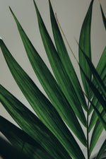 Load image into Gallery viewer, The long green foliage of the Howea Forsteriana.
