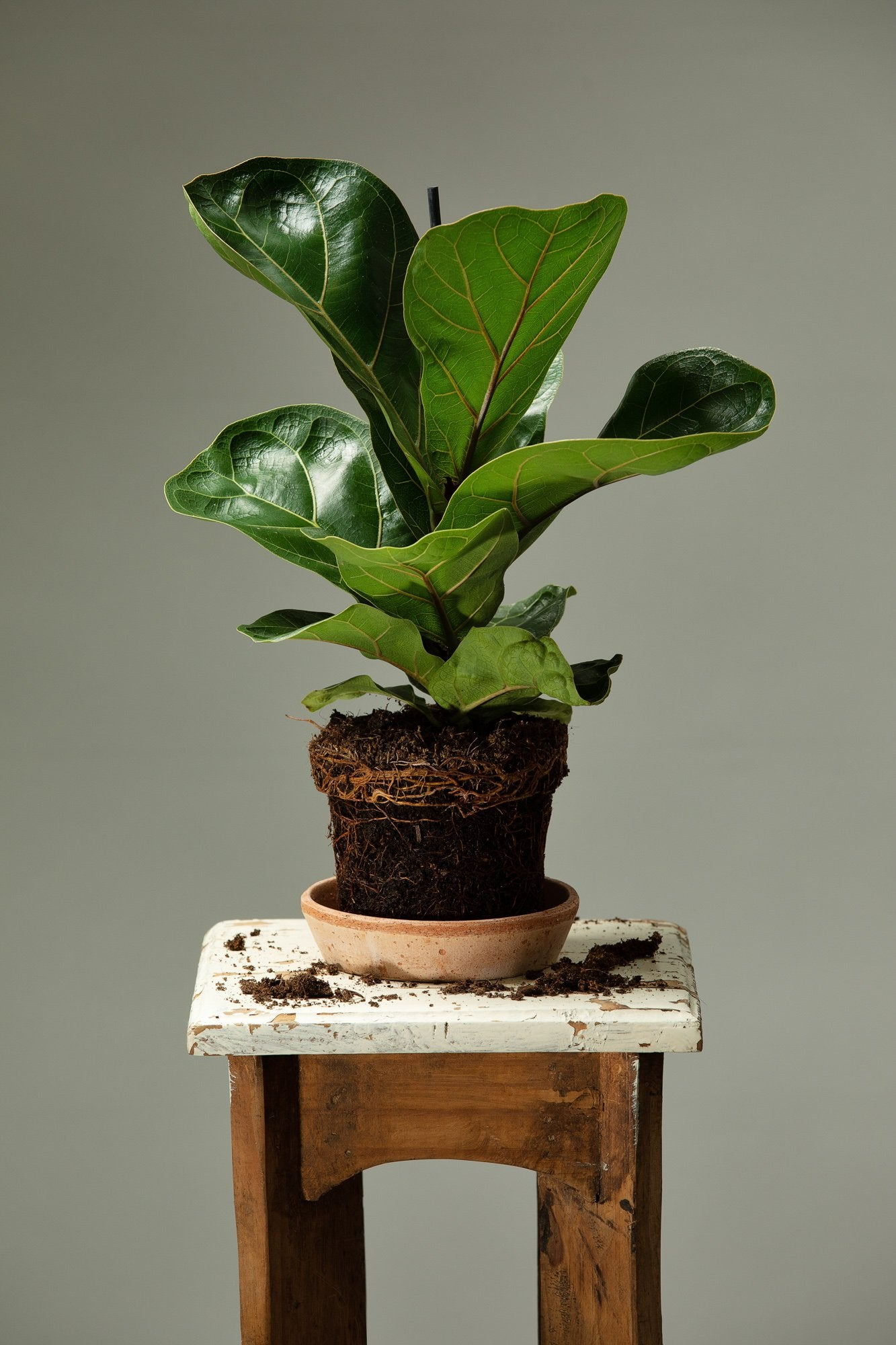 The Ficus Lyrata indoor houseplant, a popular houseplant in homes and offices.