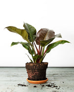 Load image into Gallery viewer, The Philodendron Imperial Red office or bedroom plant