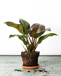 The Philodendron Imperial Red office or bedroom plant