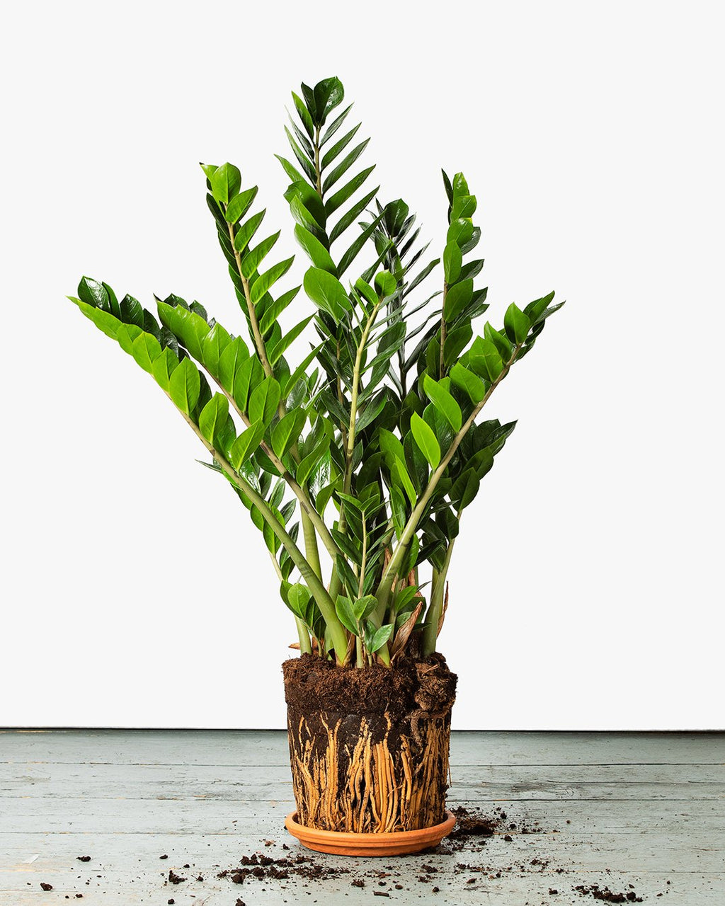 A mature, Zamioculcas Zamiifolia, or ZZ plant which is a succulent making them easy to care for and perfect for beginners.