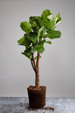Load image into Gallery viewer, A tall, mature Ficus Lyrata tree houseplant.