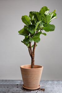 A mature Fiddle Leaf Fig Tree in a handmade Berg's Julie Rosa indoor or outdoor plant pot