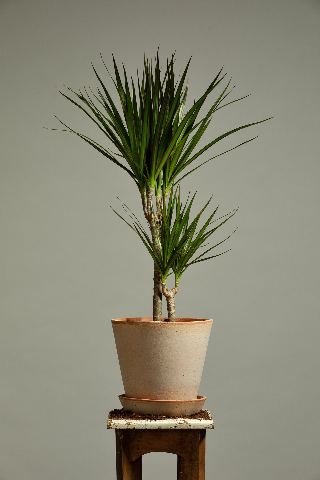 The Dracaena Marginata, or Dragon Tree, replanted in a handmade Berg's Julie Rosa indoor pot.