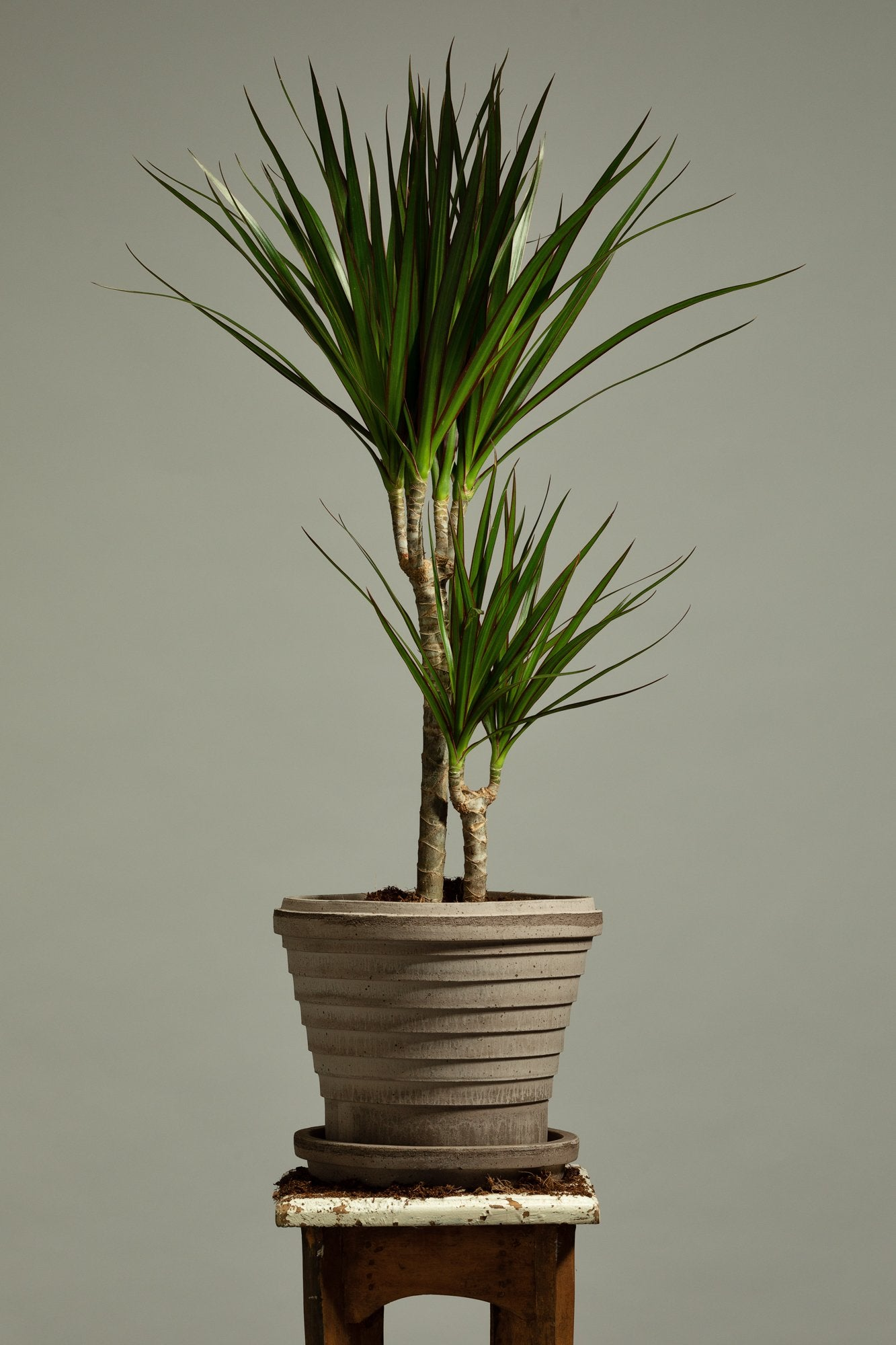 The Dragon Tree houseplant, repotted in a Berg's Neptune Nordic Grey indoor pot.