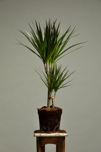 The Dracaena Marginata, or Dragon Tree indoor house plant, which is a tropical plant that is easy to care for, making it perfect for beginners.