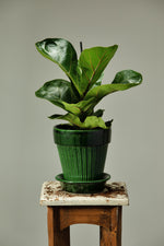 Load image into Gallery viewer, Fiddle Leaf in a Berg's Simona Emerald Green glazed indoor pot.