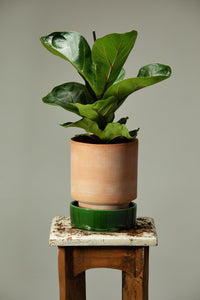 Fiddle Leaf Fig in a Berg's Hoff Rosa pot with an Emerald Green glazed indoor pot base.