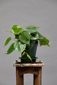 Philodendron Scandens - Heartleaf Philodendron