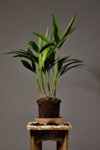 The Kentia Palm, a tall, dynamic indoor house plant originating from Australia.