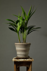 The Kentia Palm indoor plant repotted in a Berg's Saturn 16cm Nordic Grey house palnt pot.