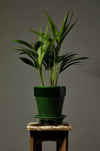 The Kentia Palm, repotted in a Berg's Simona 16cm Emerald Green glazed handmade pot.