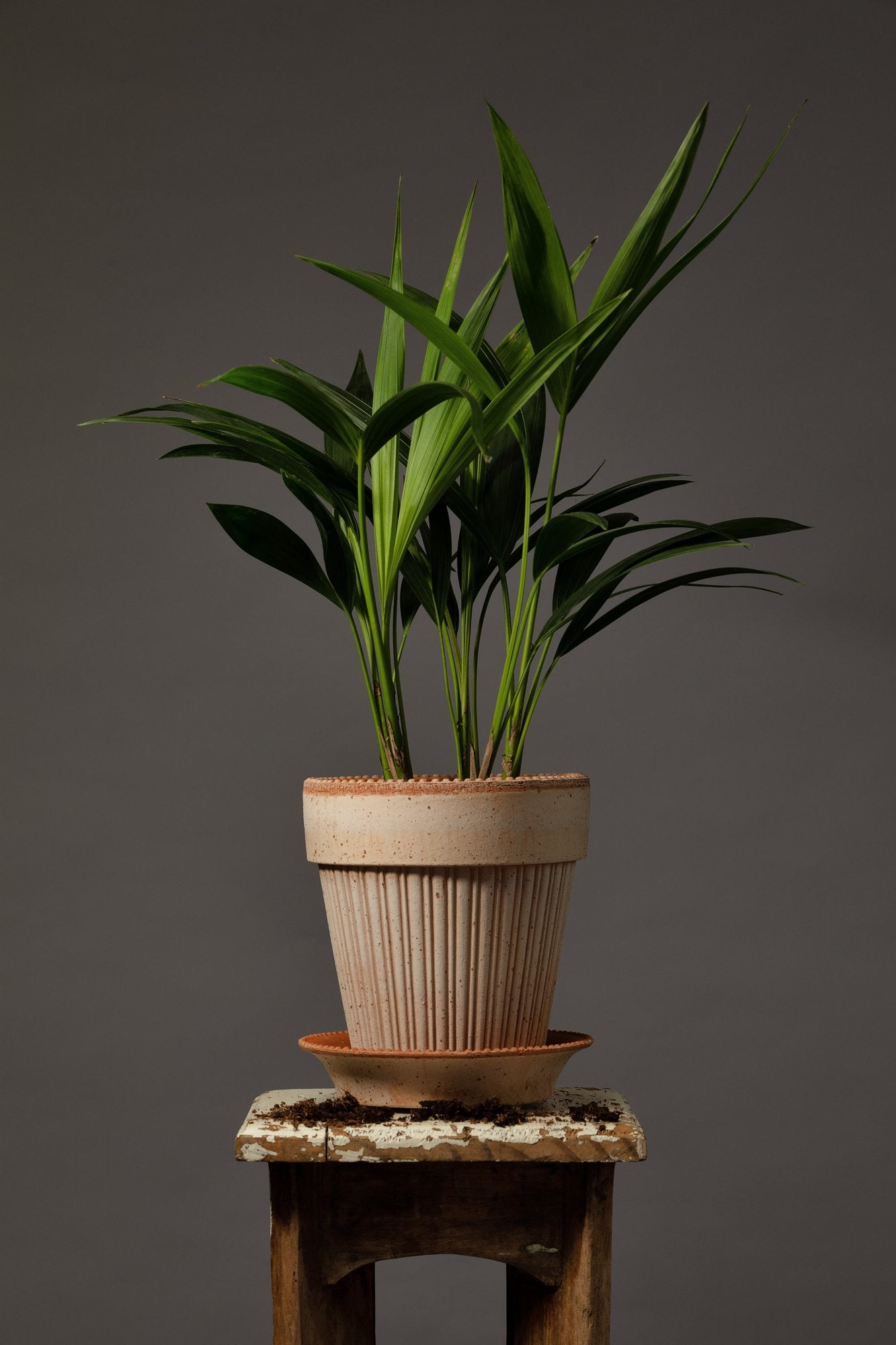 The Kentia Palm, replanted in a Bergs Simona 16cm Rosa handmade Italian house plant pot.