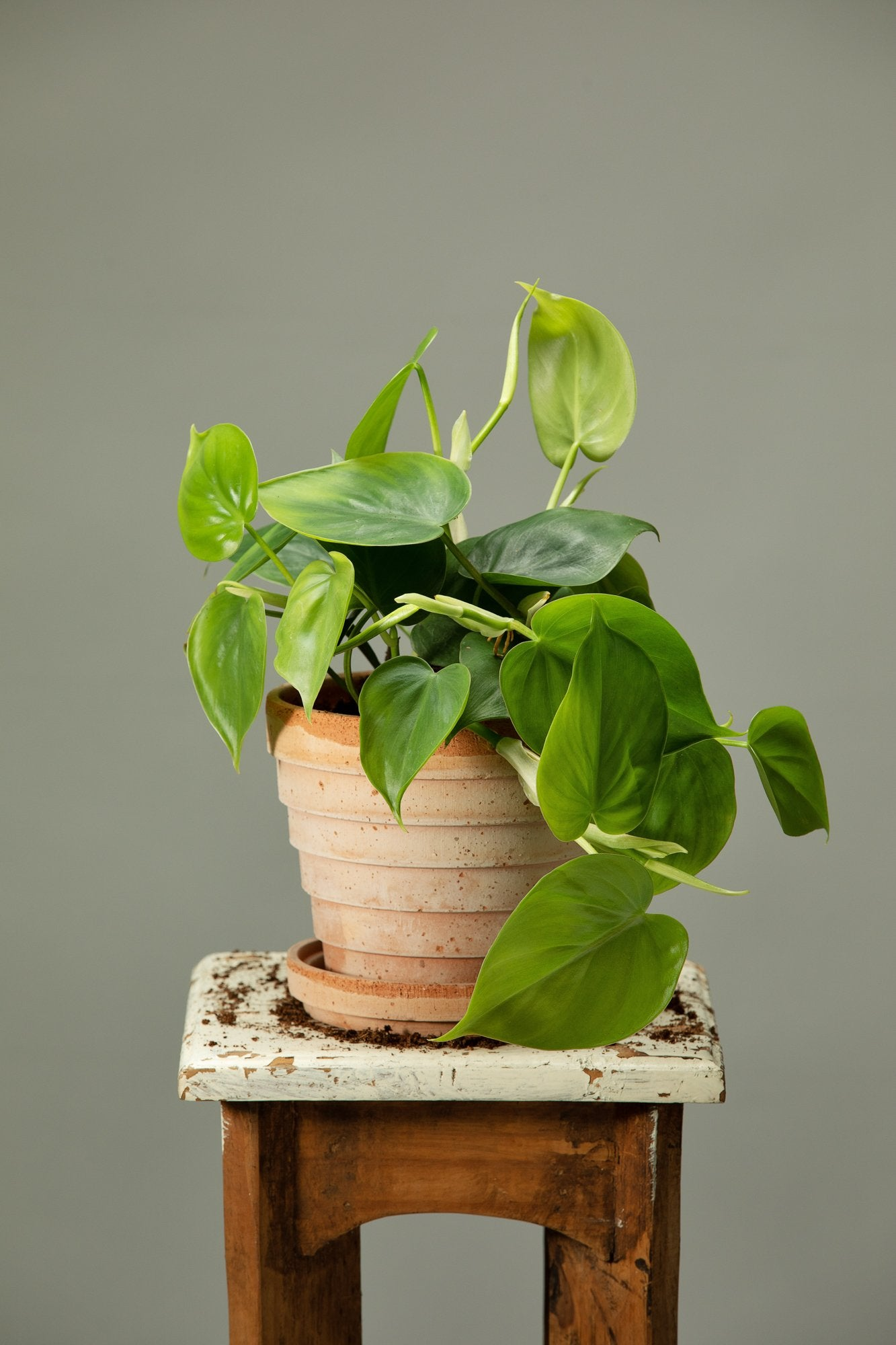 The heartleaf philodendron trailing house plant in a Berg's Venus Rosa houseplant with drainage and pot base