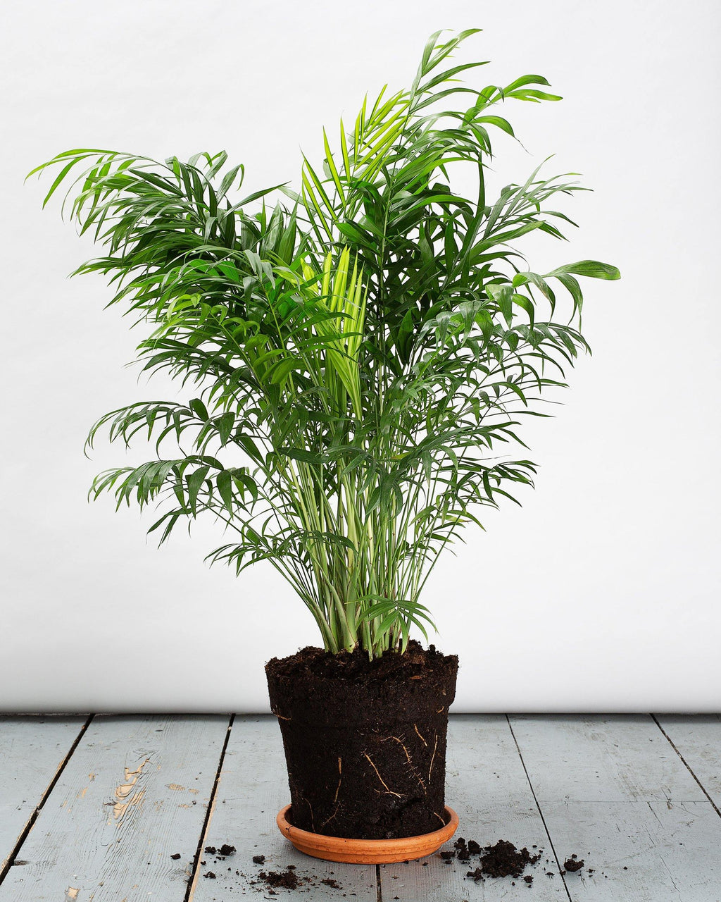 The Parlour Palm, which is a popular plant for beginners.