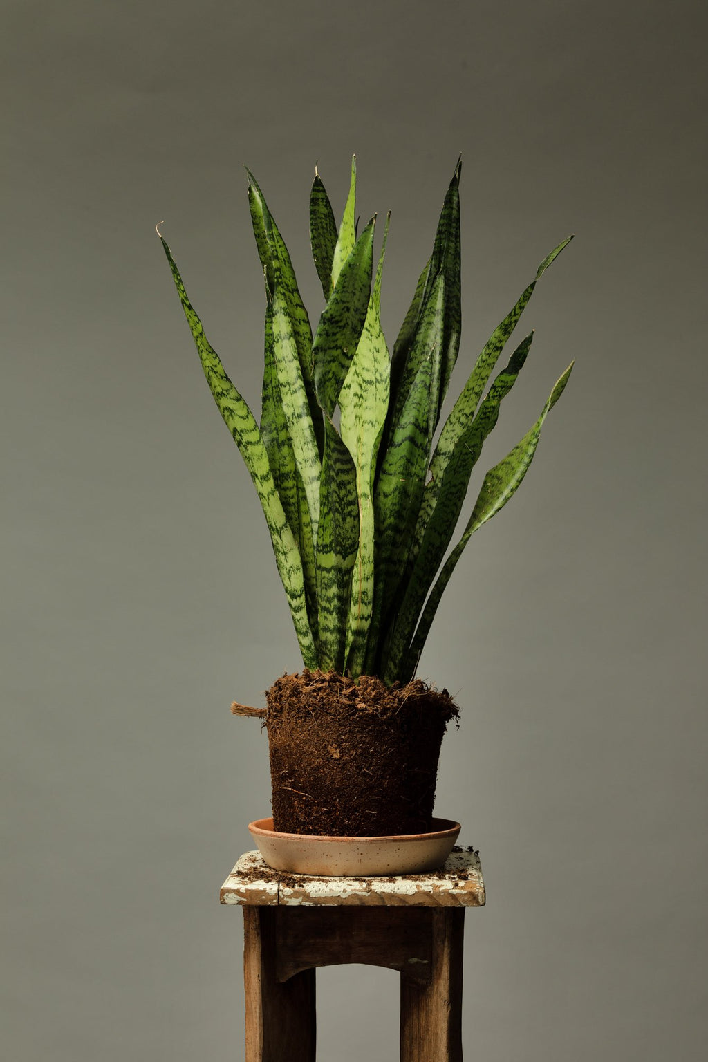 The Sansevieria Zeylanica, a succulent indoor house plant which is great for beginners.
