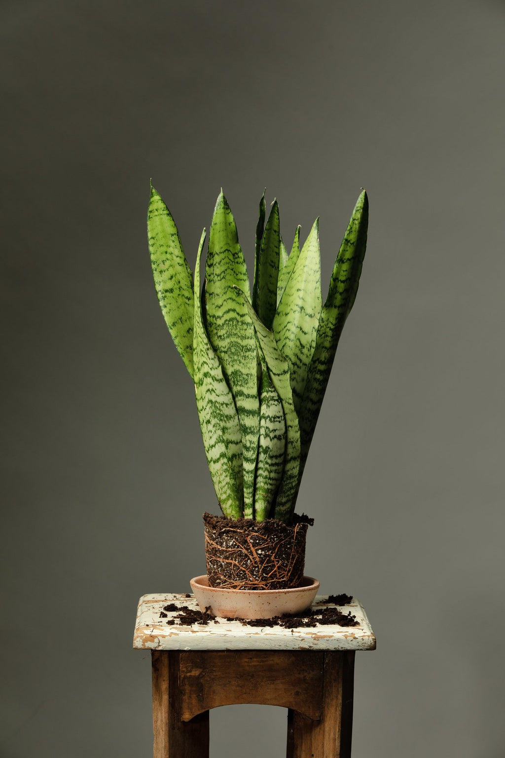The Snake Plant, an hardy and easy houseplant to care for that is perfect for beginners.