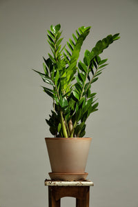 A ZZ, or Eternity Plant, repotted in a handmade Berg's Julie Rosa indoor pot