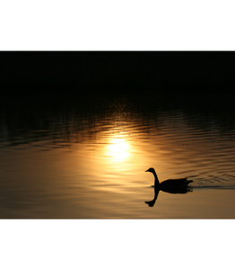 Canada Goose at Sunset