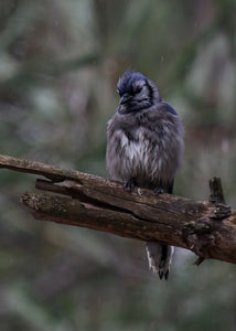 Algonquin Blue Jay - Not a Fan of the Weather