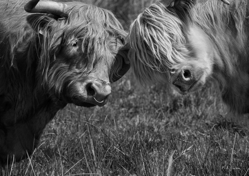 Highland Cows Head Together - Wildlife Photography - Print