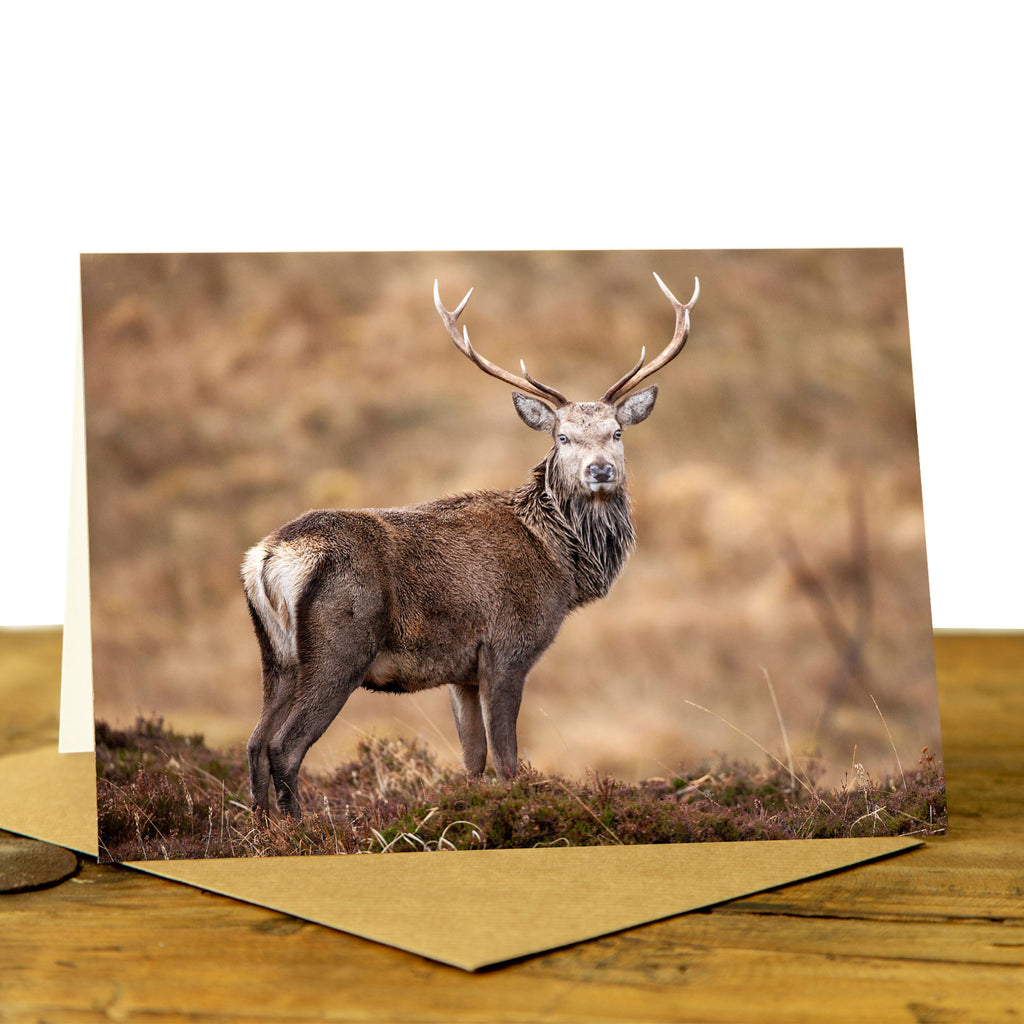 Highland stag card - Stag in the Healther
