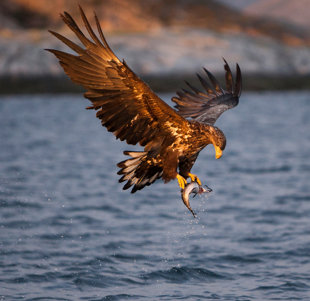 White Tailed Sea Eagle at Sunset, Norway - Wildlife Photography