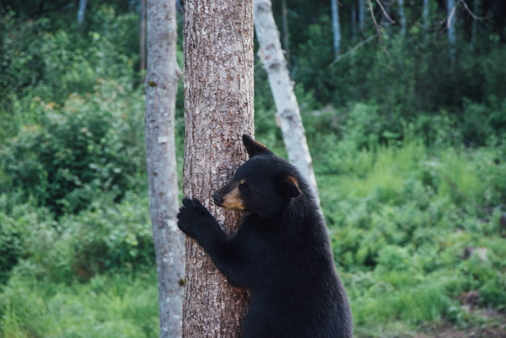 What's the most well known bear in North America?