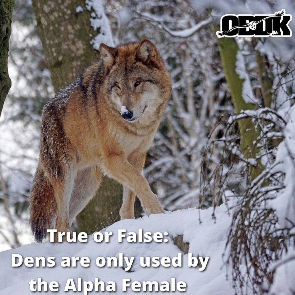 True or False: Dens are only used by the Alpha Female?