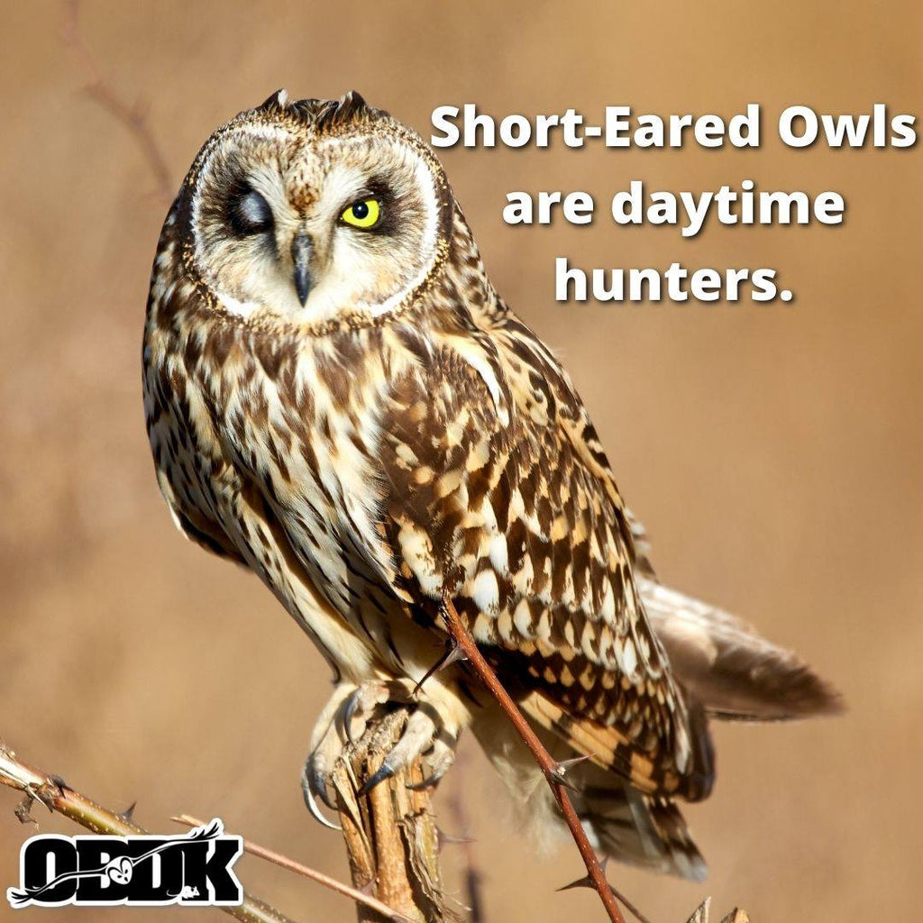 Check out the Short-Eared Owl!