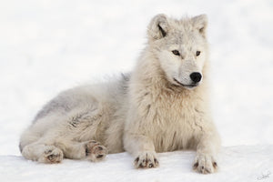 Exploring the Arctic Wolf