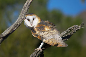 What are some typical barn owl behaviors?