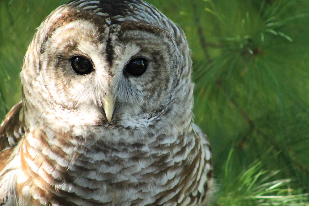 What do you know about Spotted Owls?