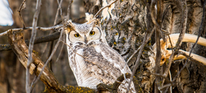 Hiding in plain sight is the key to an owl's survival.