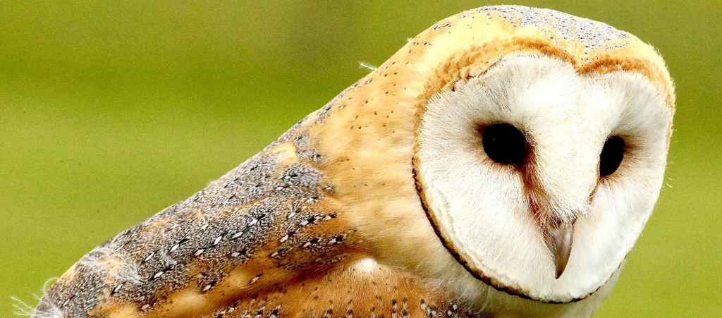 At your next happy hour, be sure to thank barn owls!