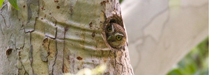 Meet the Tiniest Owl in the World - The Elf Owl