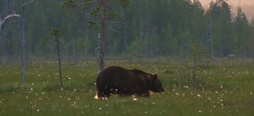 What are Bears Doing in The Fall?