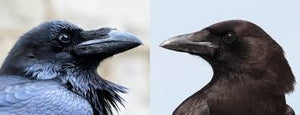 How to tell Ravens from Crows