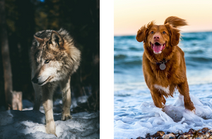 What's the difference between your dog and a wolf?