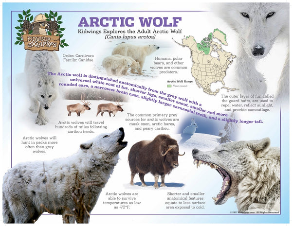 Get this laminated 24x18 Arctic Wolf poster at https://obdk.com/collections/posters/products/arctic-wolf-poster