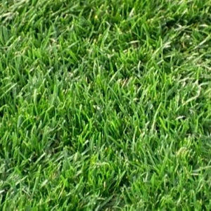 Bermudagrass, Hulled (Raw)