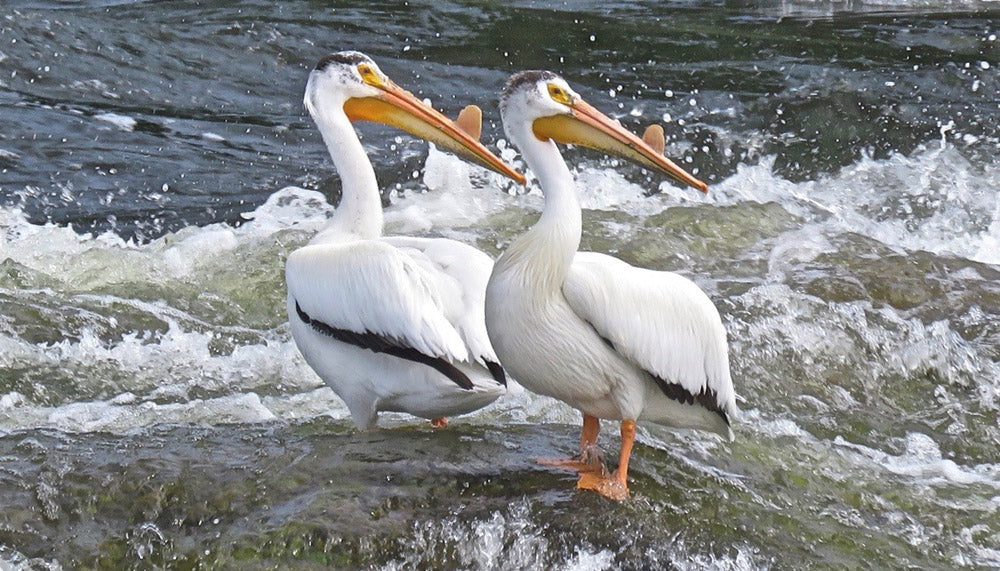 American white pelicans standing on a rock by a river