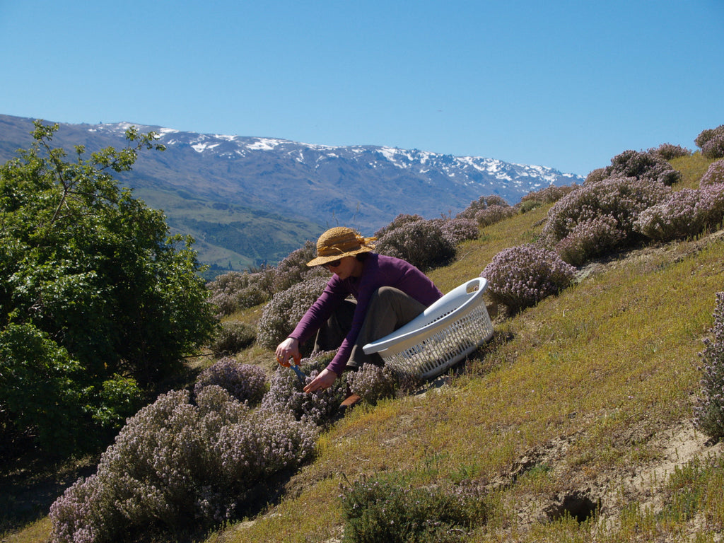 Sandra Claire harvesting wild thyme in Central Otago