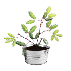 Sensitive Plant Grow Kit from Buzzy