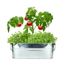 Load image into Gallery viewer, Taco Night - Tomato & Cilantro Windowsill Grow Kit from Buzzy