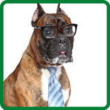 Candid picture of a boxer representing the Pecu Pets Marketing Divison Manager