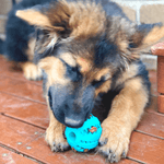 A German shepherd playing with the Dog Treat ball. The dog is laid down and is holding the ball filled with treats between his paws. He is trying to reach the treats inside the ball chewing it.