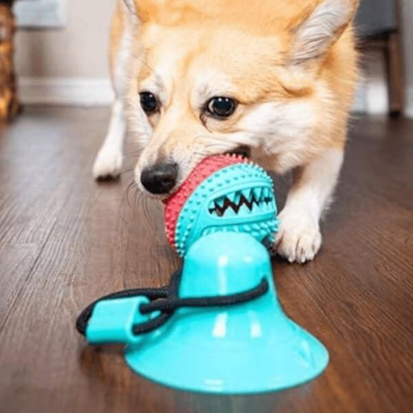 A Corgi pulling with the Tug Ball stuck to a parquet